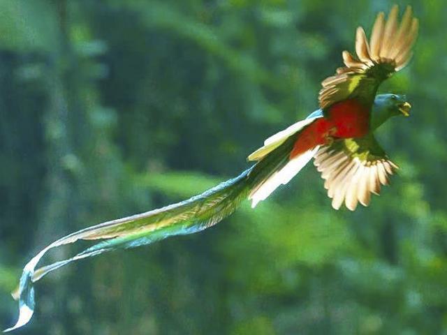 Hábitat Del Quetzal Amenazado Por Tala Y Avance De Frontera Agrícola Noticias Última Hora Guatemala