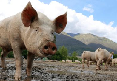 Guatemala avanza en proceso para ser declarada libre de peste porcina clásica